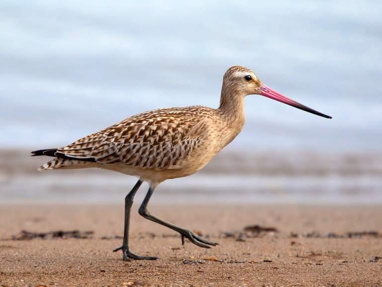 bird bar tailed godwit