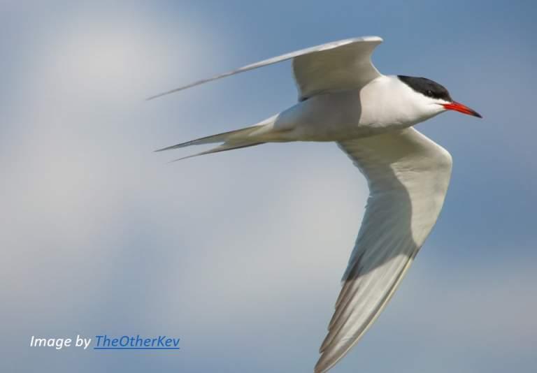 bird common tern