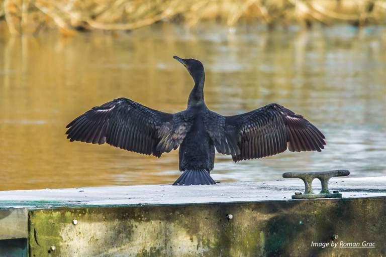 bird cormorant