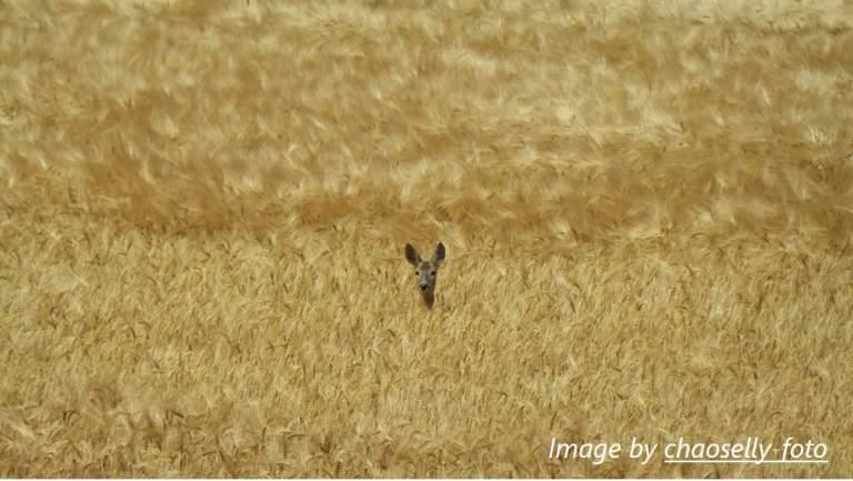 deer roe deer cornfield
