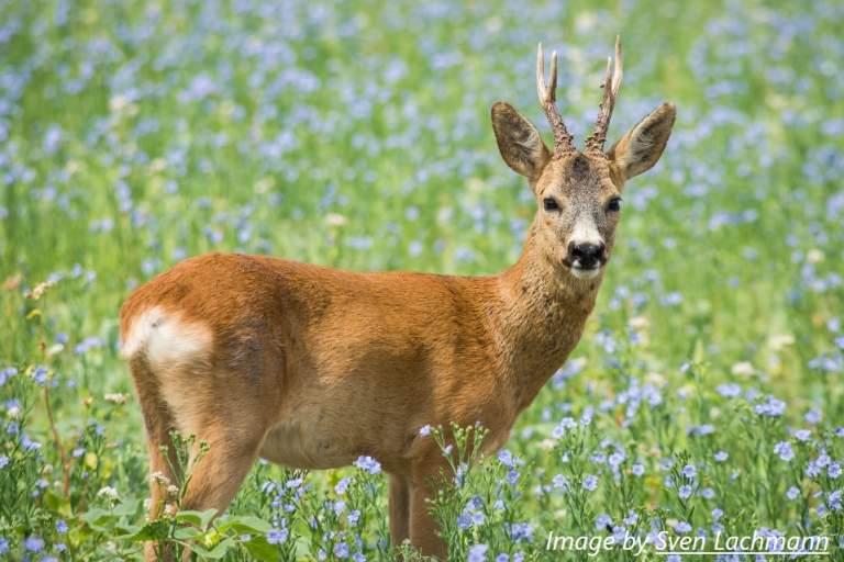 deer roe deer meadow
