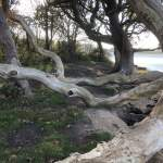 west wittering walk tree water